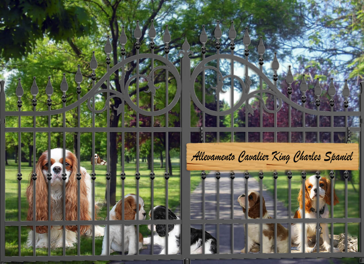 Allevamento Cavalier King con cuccioli e adulti dietro un cancello