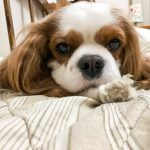 Carattere del Cavalier King
