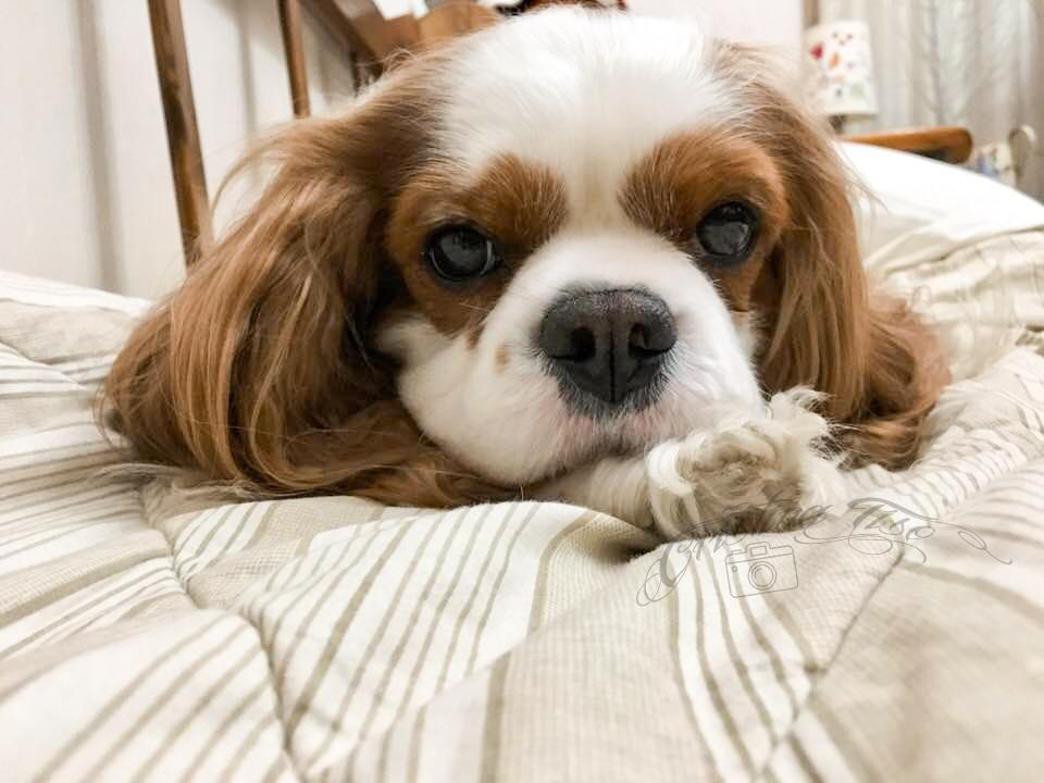 Cavalier King Charles Spaniel sul letto, per carattere ama la vita comoda