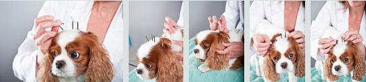 Agopuntura veterinaria su un Cavalier King
