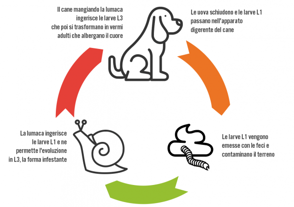 Angiostrongilosi: ciclo del parassita