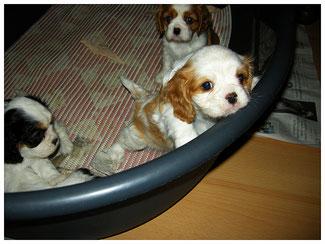 Allevamento Cavalier King: cuccioli in una cuccia