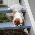 Cuccioli, salti e lussazioni traumatiche