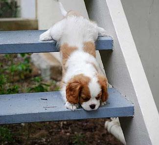 Cucciolo di cavalier King che scende le scale