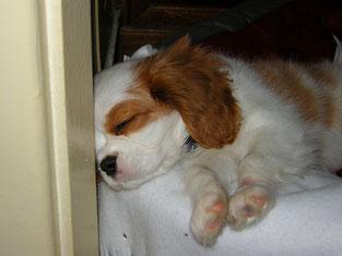 Cucciolo addormentato nella cuccia che appoggia la testa contro il muro