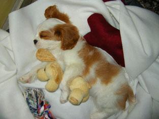 cucciolo di cavalier King addormentato