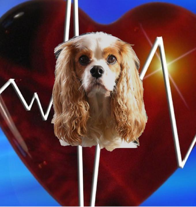 immagine sovrapposta di un Cavalier King su un cuore