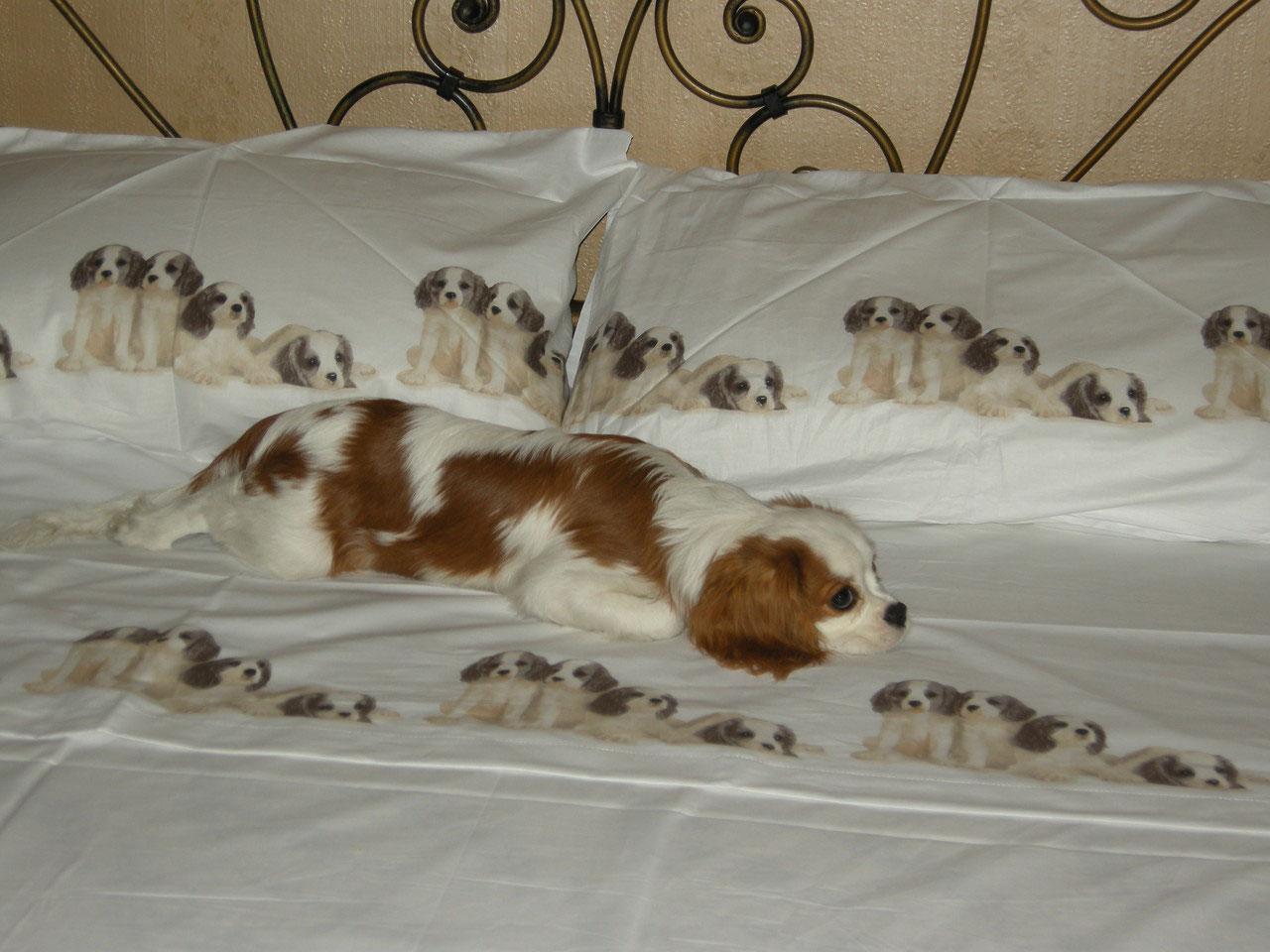Cavalier King Scott sdraiato sul letto