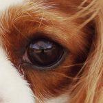 Malattie oculari del Cavalier King: quali sono?