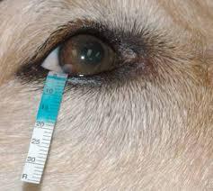 esecuzione del test di Schirmer: striscia di carta bibula infilata nell'occhio del cane