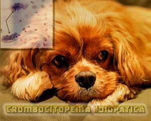 trombocitopenia idiopatica nel Cavalier King