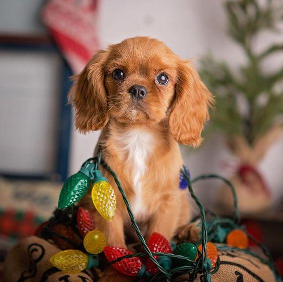 cucciolo ruby, regalare un cucciolo a Natale?