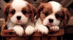 """Le truffe dei cani di """"razza"""" comprendono anche falsi annunci di cuccioli in regalo"""