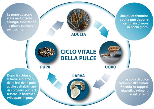 le pulci e il loro ciclo biologico