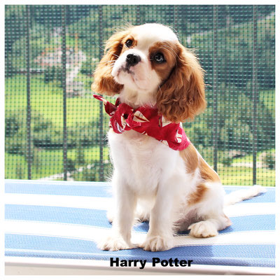 Harry Potter Cavalier King nato alla Domus Aventina